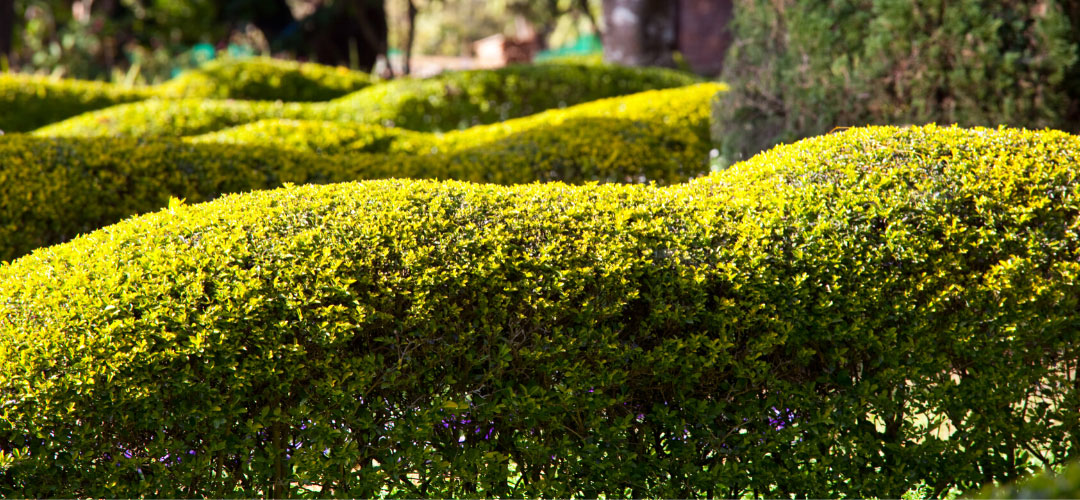 Shrubberies and Hedges, Backyard Manicured Appearance
